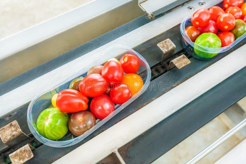 Świezi upakowani mali pomidory na konwejeru pasku w Holenderskiej szklarni obraz royalty free