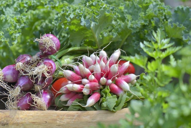 Świezi warzywa w ogródzie obraz royalty free