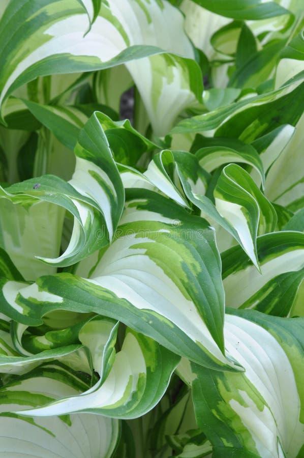 Świezi wiosna liście hosta roślina obraz stock