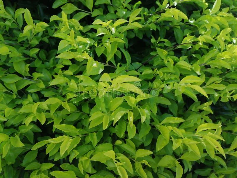 Świezi zieleń liście dla tła zdjęcie royalty free