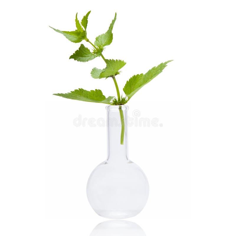 Świezi ziele, pokrzywa - Naturalni remedia fotografia stock