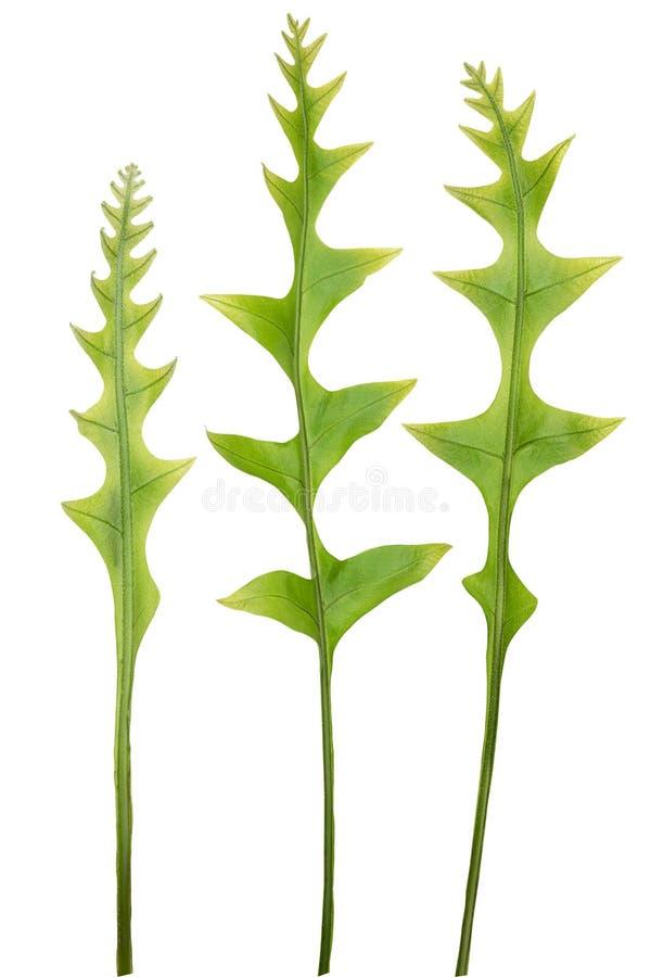 Świezi zieleni lasowi paproć liście odizolowywający na białym tle fotografia royalty free