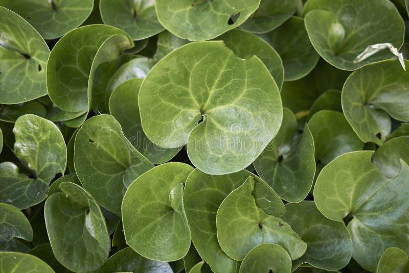 Świezi zieleni liście Asarum europaeum obrazy stock