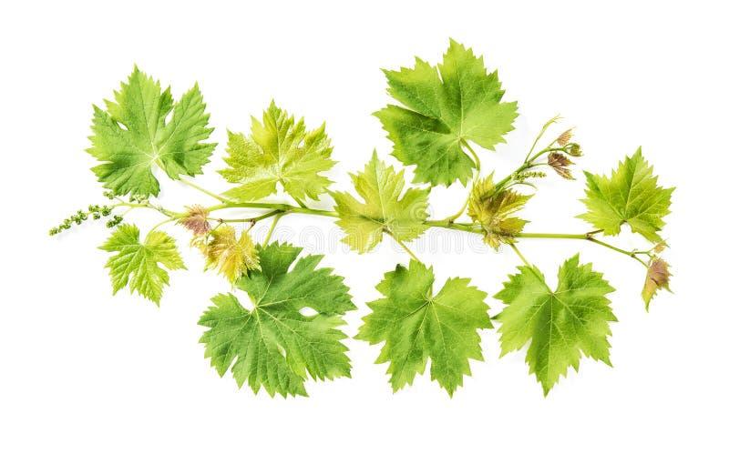 Świezi zieleni liście graniczą Gronowego winogradu liścia bielu tło zdjęcie stock