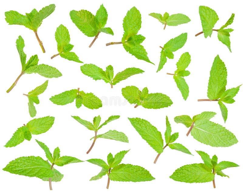 Świezi zieleni liście miętówka fotografia royalty free