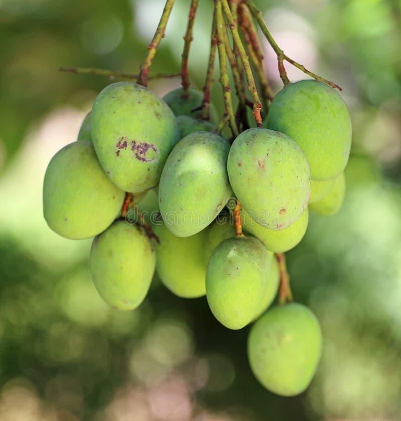 Świezi zieleni mango fotografia stock