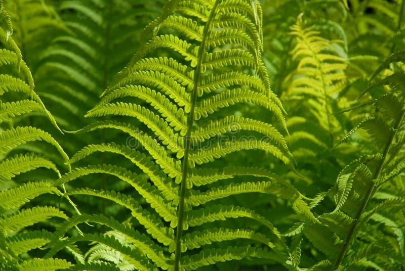 Świezi, zieleni paprociowi fronds, folująca rama obrazy royalty free
