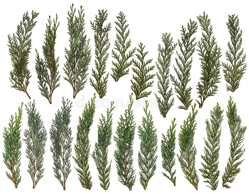 Świezi zieleni sosna liście odizolowywający na białym tle zdjęcie stock
