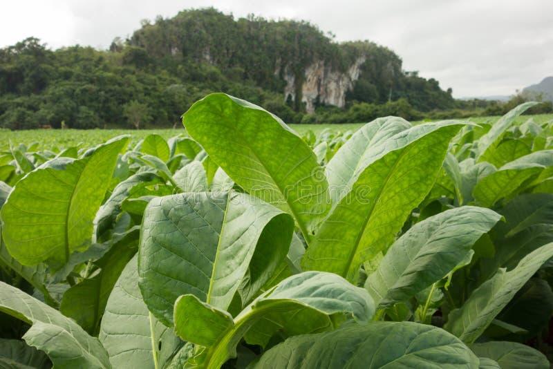 Świezi zieleni tytoni liście na polu zdjęcie royalty free