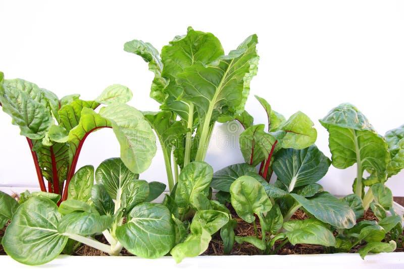świezi zieleni warzywa zdjęcie royalty free