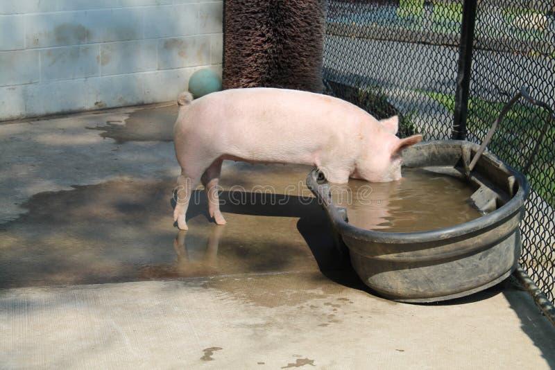Świnia dostaje napój woda zdjęcia royalty free