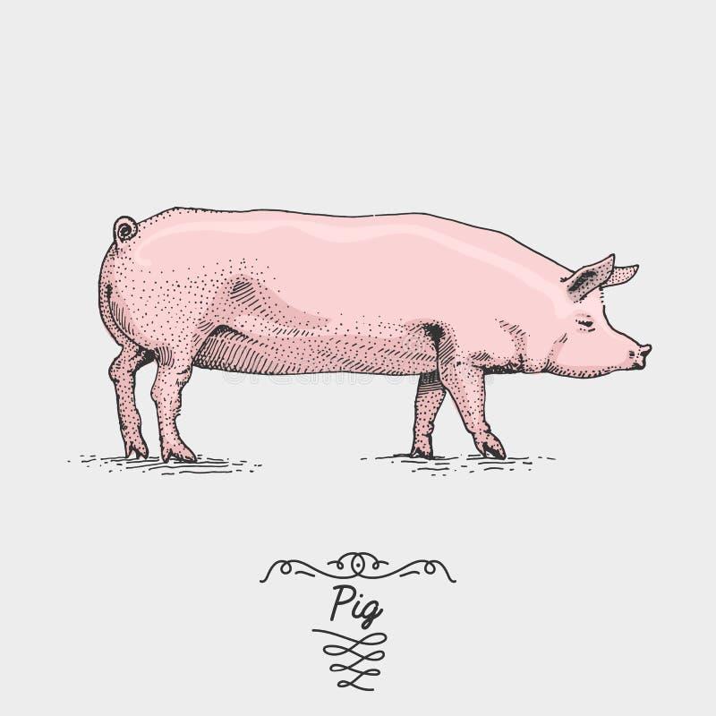 Świnia grawerująca, ręka rysująca wektorowa ilustracja w woodcut scratchboard stylu, roczników rysunkowi gatunki ilustracji