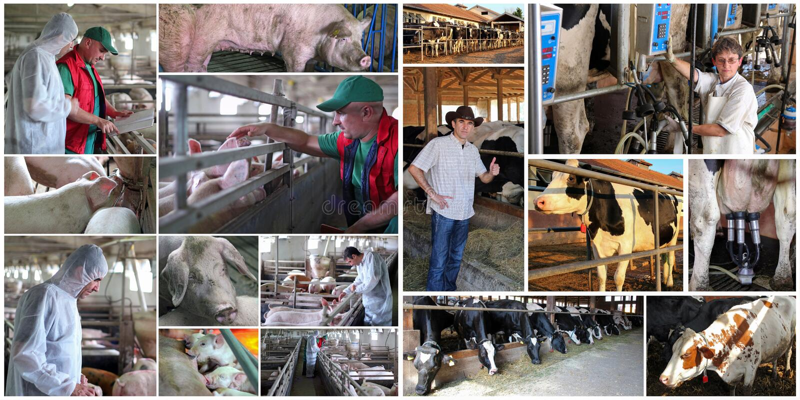 Świnia i bydło Uprawia ziemię - rolnicy Pracuje przy świni i nabiału gospodarstwem rolnym obraz stock