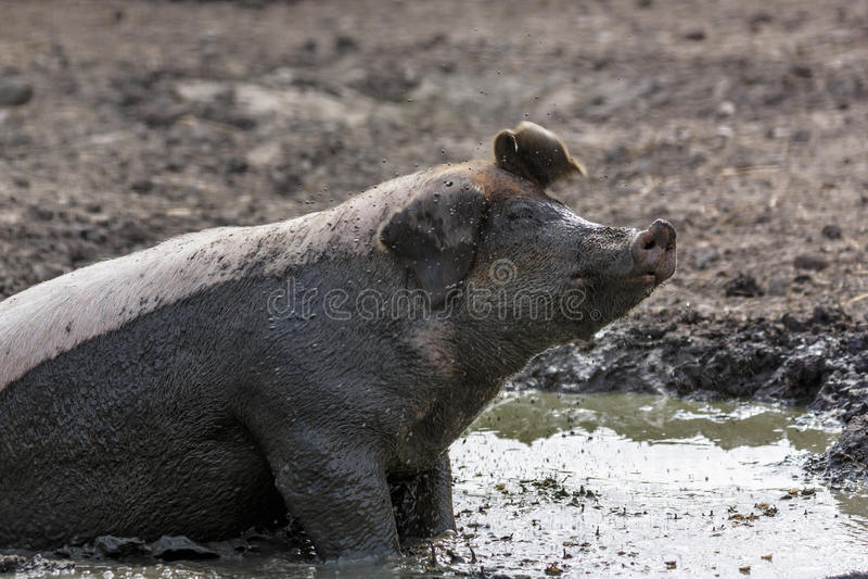 Świnia w błocie obrazy stock