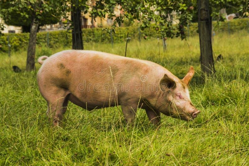 Świnia w medow zdjęcie stock