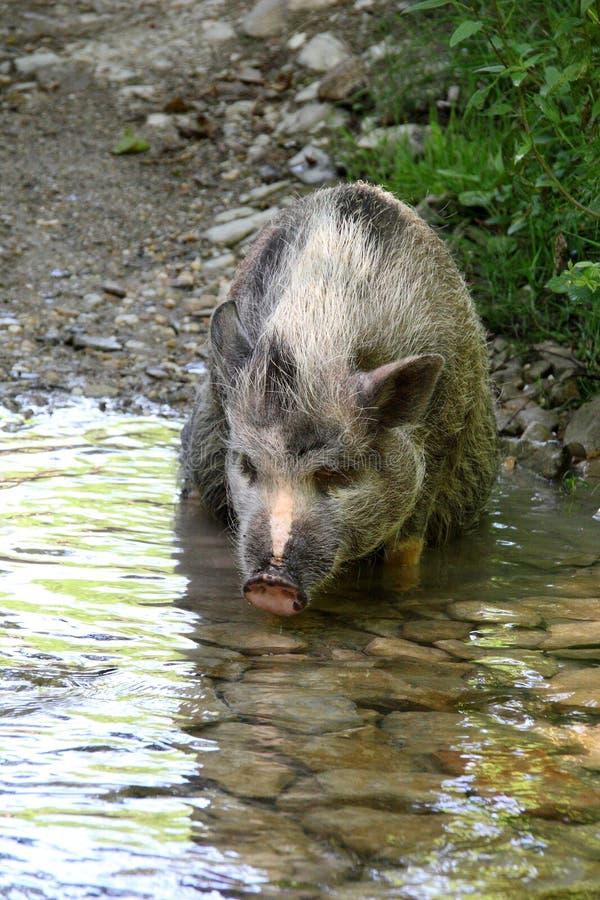 Świnia w rzece fotografia royalty free