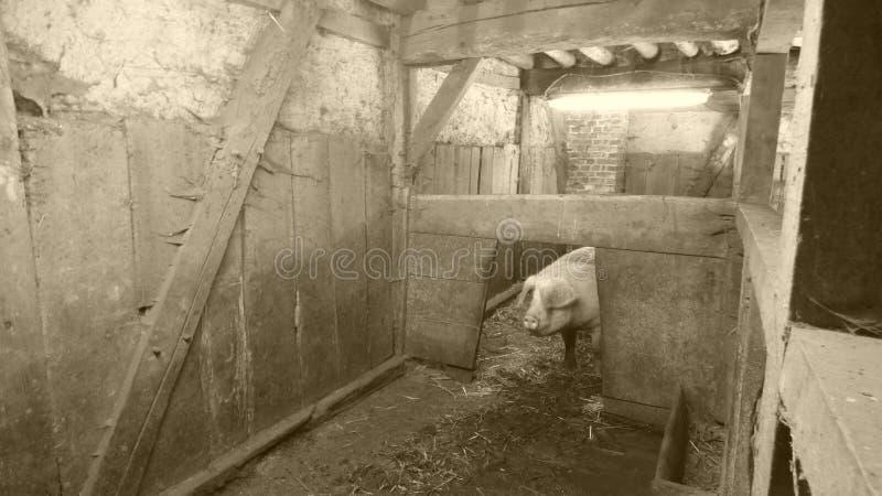 Świnia w stajence fotografia stock