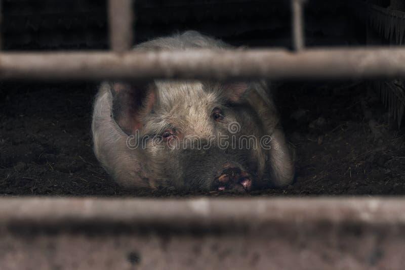 Świnia z smutnym spojrzenia lying on the beach w błocie Rolnictwo i przemysł rolny obrazy stock
