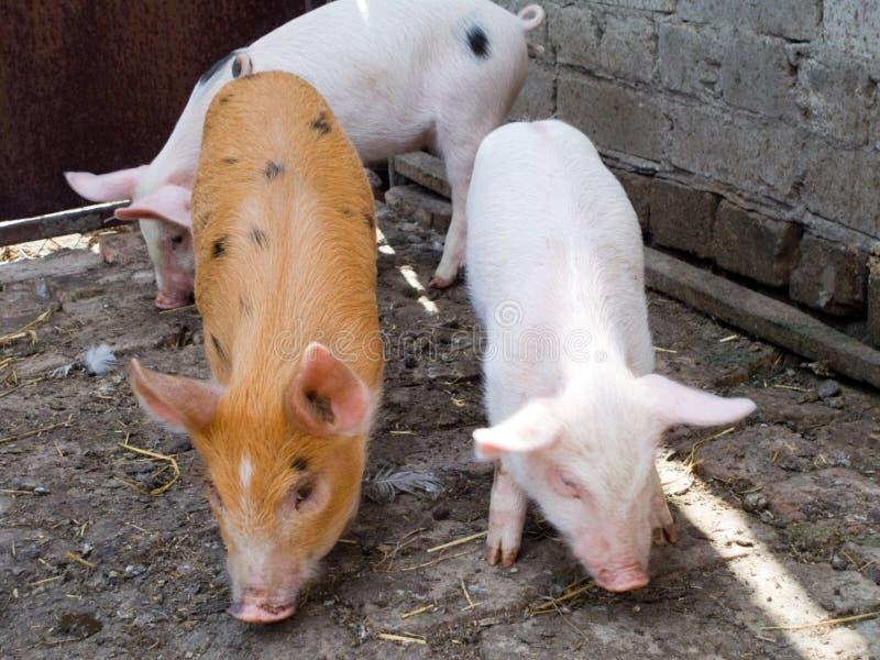świnie fotografia royalty free