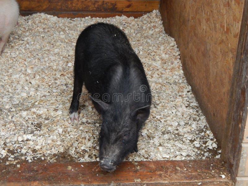 Świnie i dzicy knury w wolierze zdjęcie stock