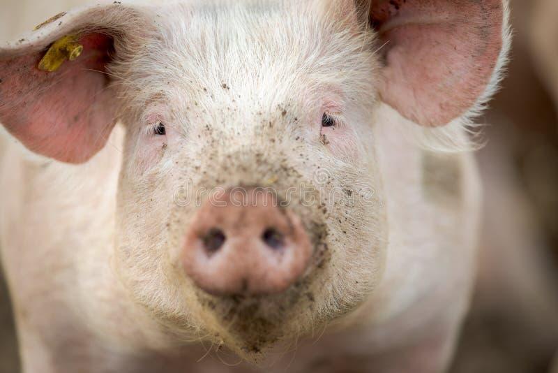 Świnie je na łące w gospodarstwie rolnym obrazy royalty free