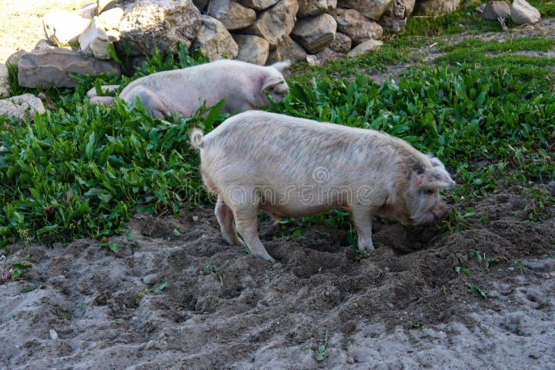 Świnie je trawy w otwartym polu zdjęcie royalty free