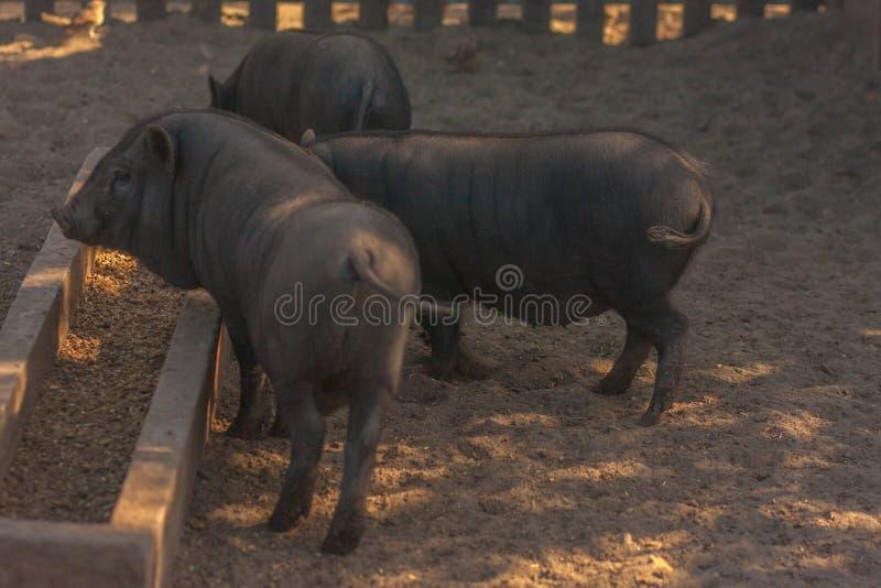 Świnie jedzą Trzy świni przy cookhouse z jedzeniem prosiaczek obraz royalty free