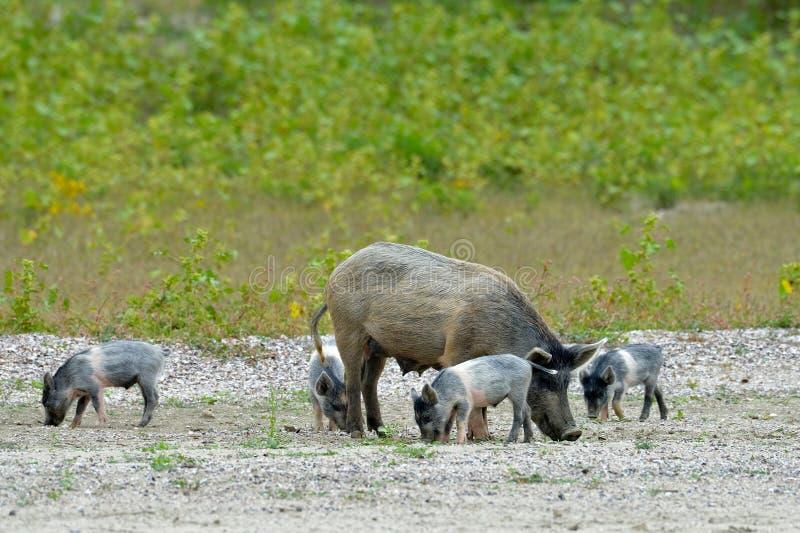 Świnie plenerowe obrazy stock