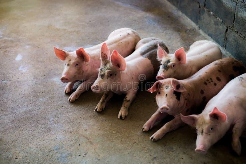 Świnie przy gospodarstwem rolnym Mięsny przemysł Świnia uprawia ziemię spotykać rosnącego popyt dla mięsa w Thailand i zawody mię zdjęcia royalty free