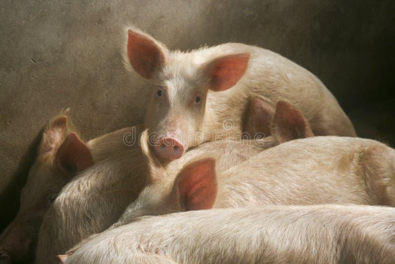 Świnie w chlewie fotografia royalty free