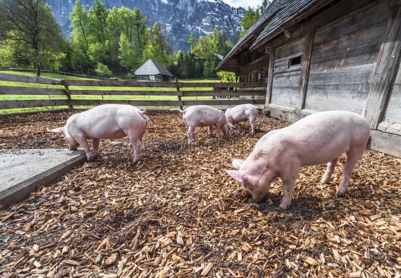 Świnie w gospodarstwie rolnym obraz stock