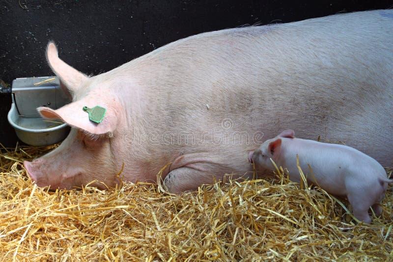 Świnie w sianie fotografia royalty free