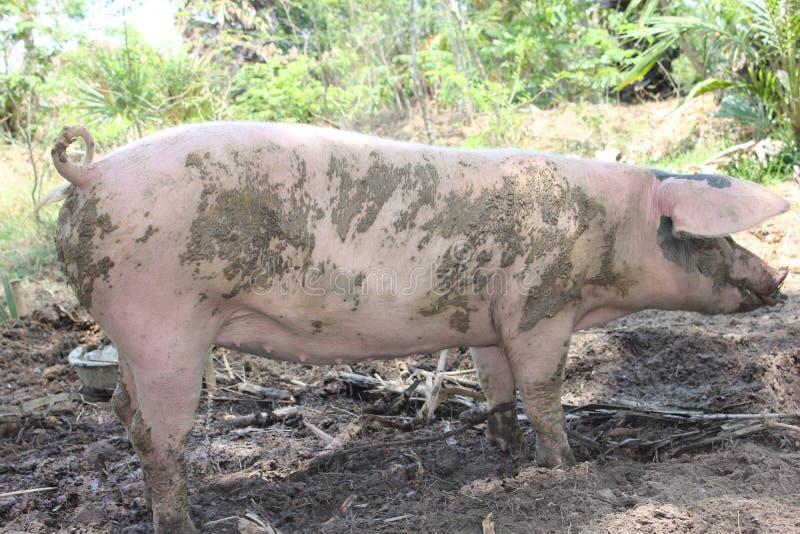 Świnie zostają dziewiczymi Przymocowywają Snoeng obrazy royalty free