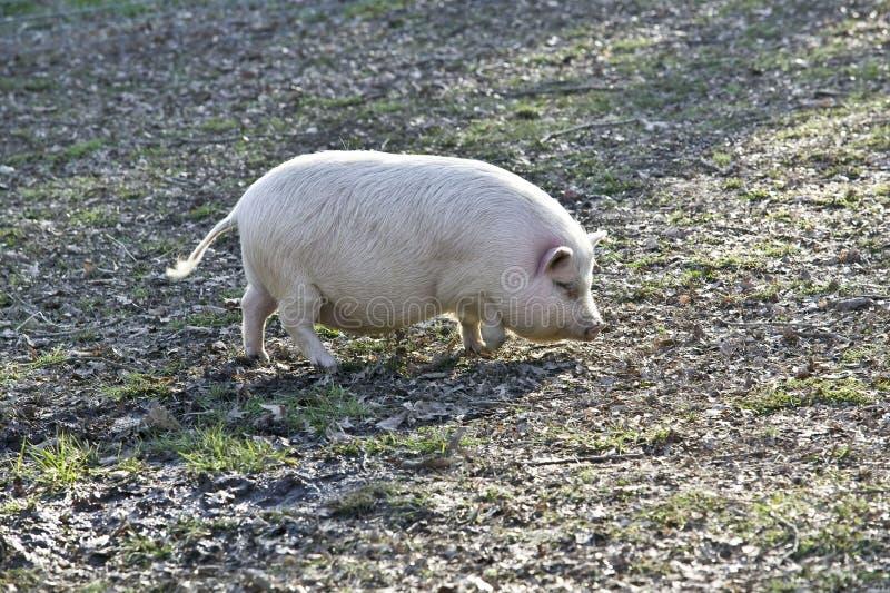świniowaty potbelly zdjęcia royalty free