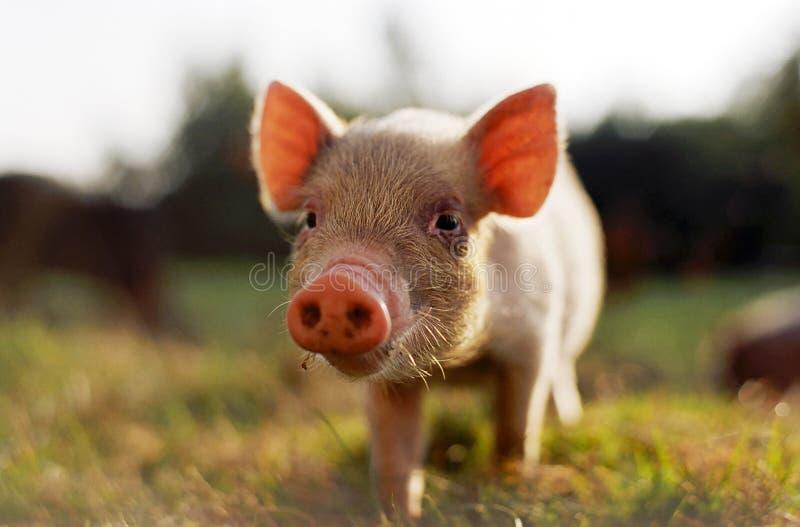Świnka. obraz stock
