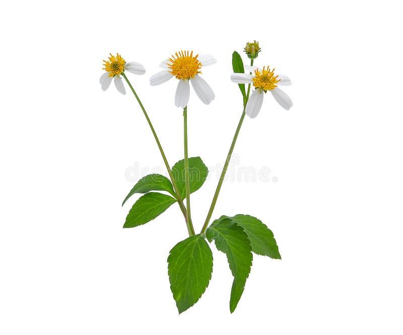 Świrzepa kwiat, hiszpańskie igły lub żebraka kij z zielonymi liśćmi, obraz royalty free