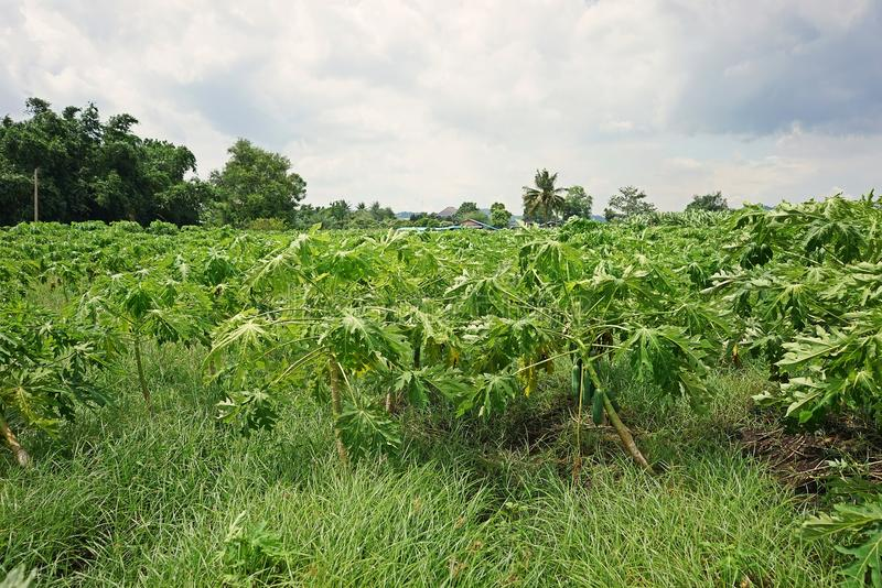 Świrzepy infestation wewnątrz w melonowiec produkci polu zdjęcie stock