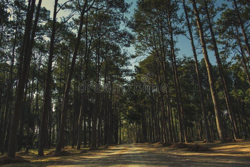 Świt w sosnowym lesie obrazy stock