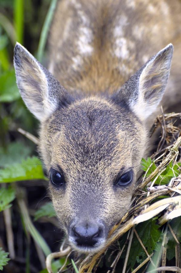 źrebiąt jeleni europejscy roe fotografia stock