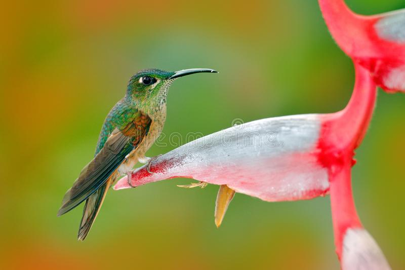 Źrebię brylant, Heliodoxa rubinoides, hummingbird od Ekwador Śliczny ptasi obsiadanie na pięknym czerwonym Heliconia kwiacie, tr fotografia stock