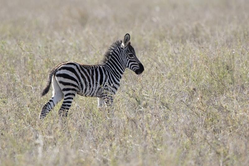 Źrebię równiny zebra która stoi wśród suchej trawy w Afryka zdjęcia stock