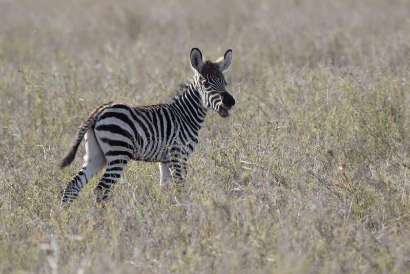 Źrebię równiny zebra która stoi w sawannie i dzwoni fotografia stock