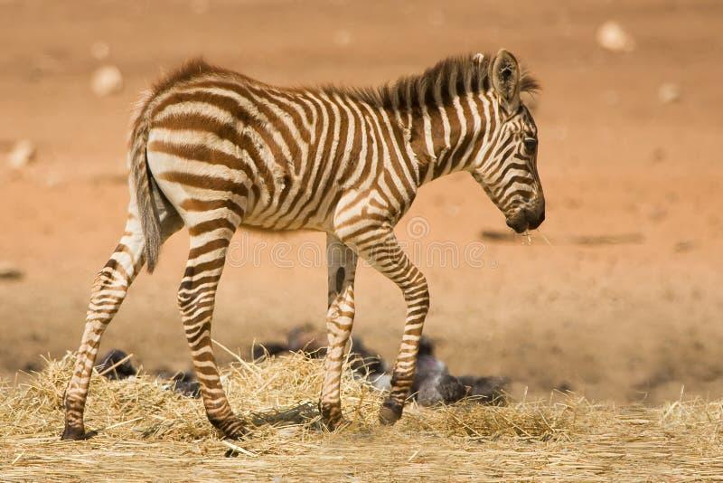 źrebięcia dotaci s zebra zdjęcia royalty free