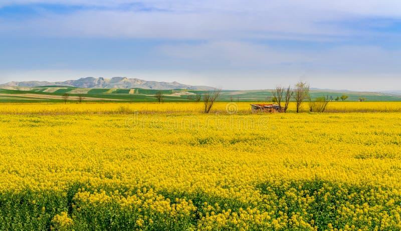 Żółci canola pola z pięknym panoramicznym widokiem i niebieskie niebo blisko Sakarya rzeki, Polatli, Ankara obrazy royalty free