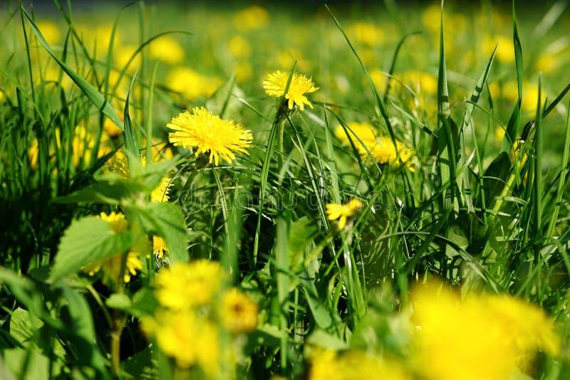 Żółci dandelions obraz stock