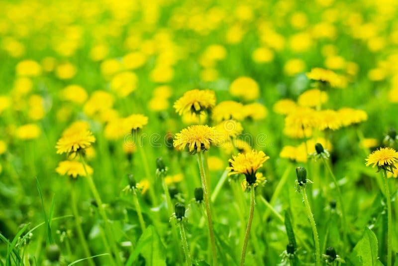 Żółci dandelions kwitną w zielonej trawie na słonecznym dniu na w górę zamazanego tła, wiosna gazon z okwitnięć blowballs kwiatam fotografia royalty free