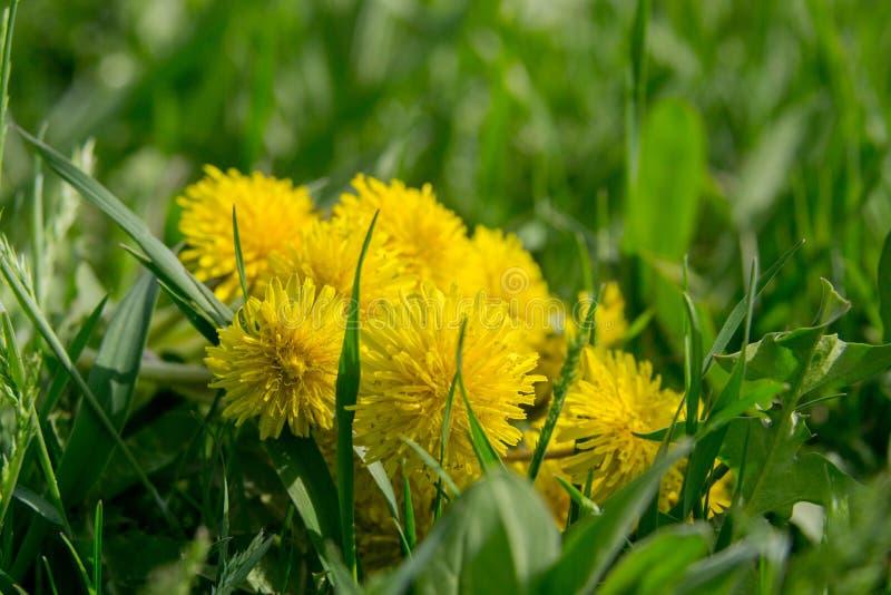 Żółci dandelions wśród zielonego ulistnienia obrazy royalty free