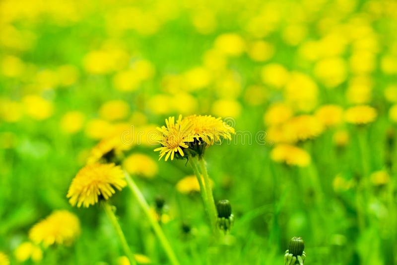 Żółci dandelions w kwiacie zamkniętym w górę zamazanego zieleni pola tła na, blowballs kwitną kwiaty na wiosna gazonie, piękny la fotografia stock