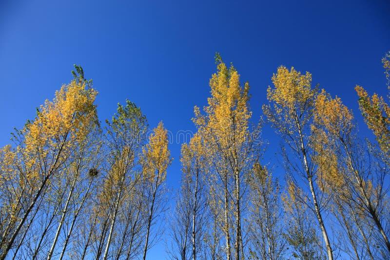 Żółci drzewa w jesieni północny wschód Chiny obrazy stock