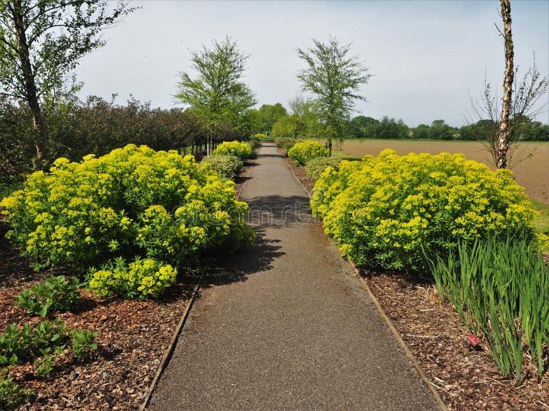Żółci Euphorbias kwitnie obok ukazującej się ścieżki blisko Jork fotografia royalty free